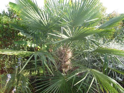 Ma plan te jardin le palmier de chine rustique et tr s exotique - Engrais pour palmier ...