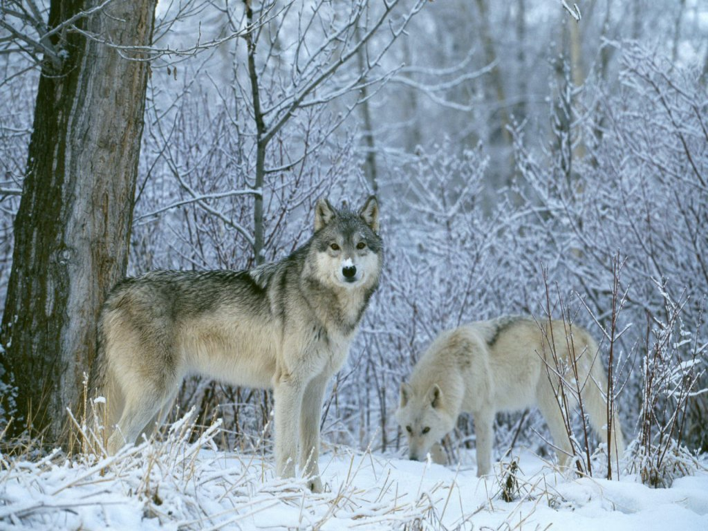 Wolf hunting hd coll wallpapers hd wallpaper
