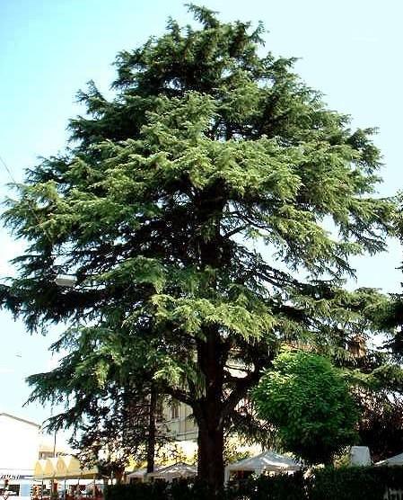 especies de árboles de arboles madereros como caoba cedro etc