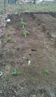 Garden, gardening, garden blog, growing tomatoes, growing corn, fresh corn on the cob, growing bell peppers