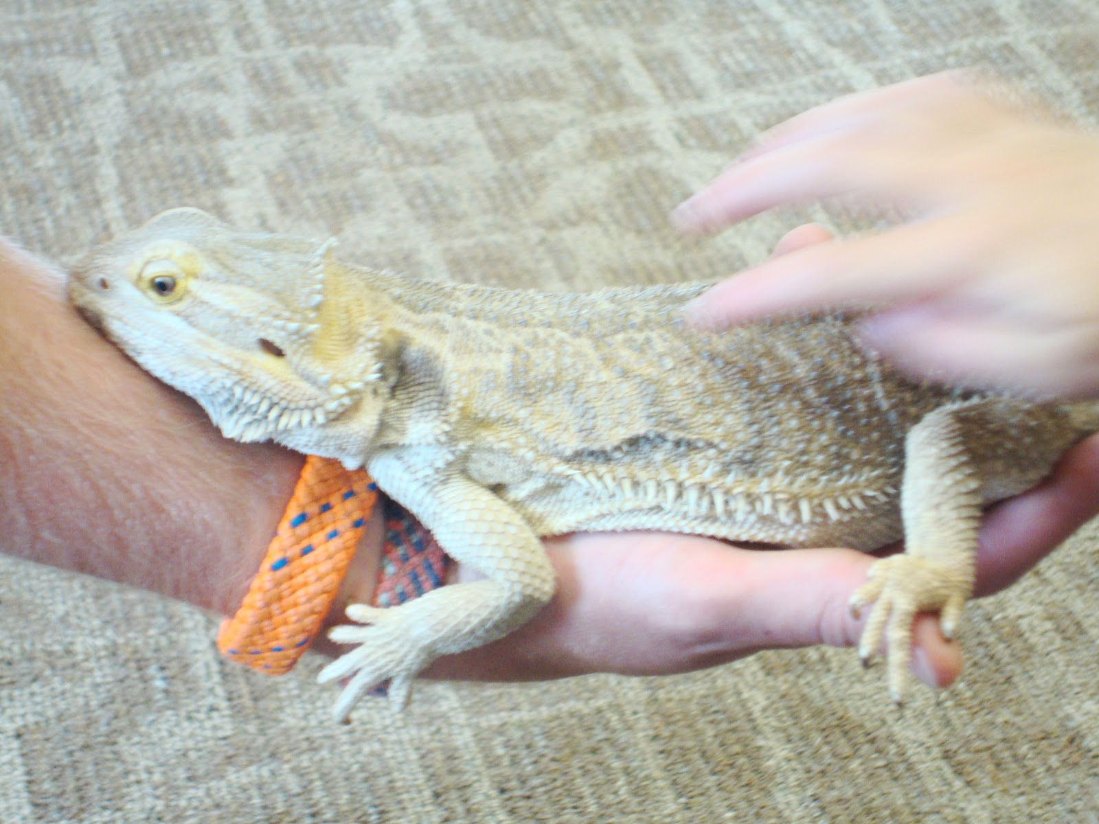 how to tell differance between male and female bearded dragon