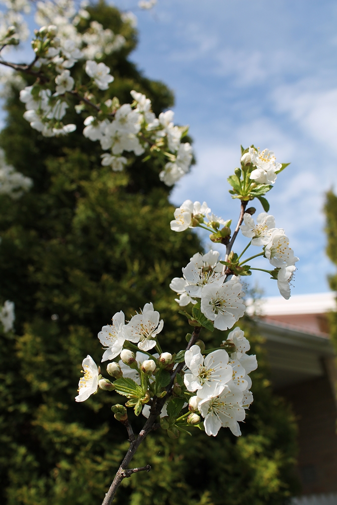 kirsikan kukinta