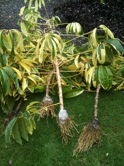 The opinionated gardener december 2011 - Schefflera variegata ...