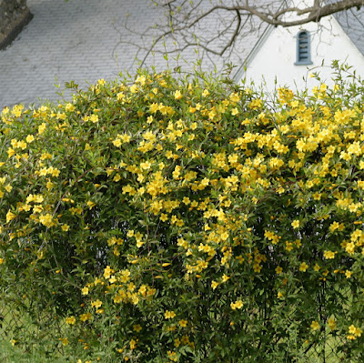 Yellow Jessamine (Gelsemium Sempervirens) Overview, Health Benefits, Side effects