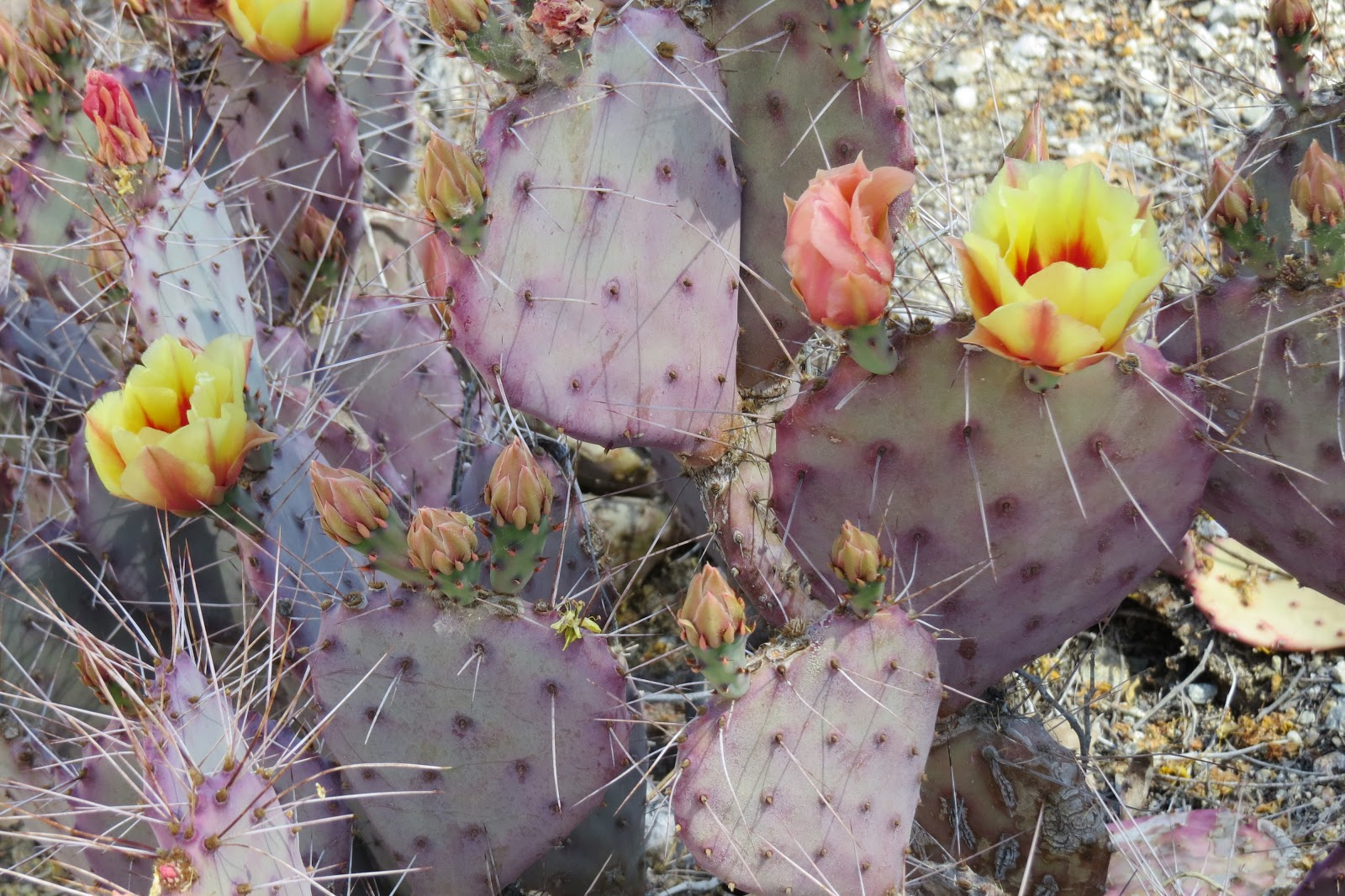 The Living Desert blooming cactus