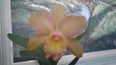 Orquídea da semana