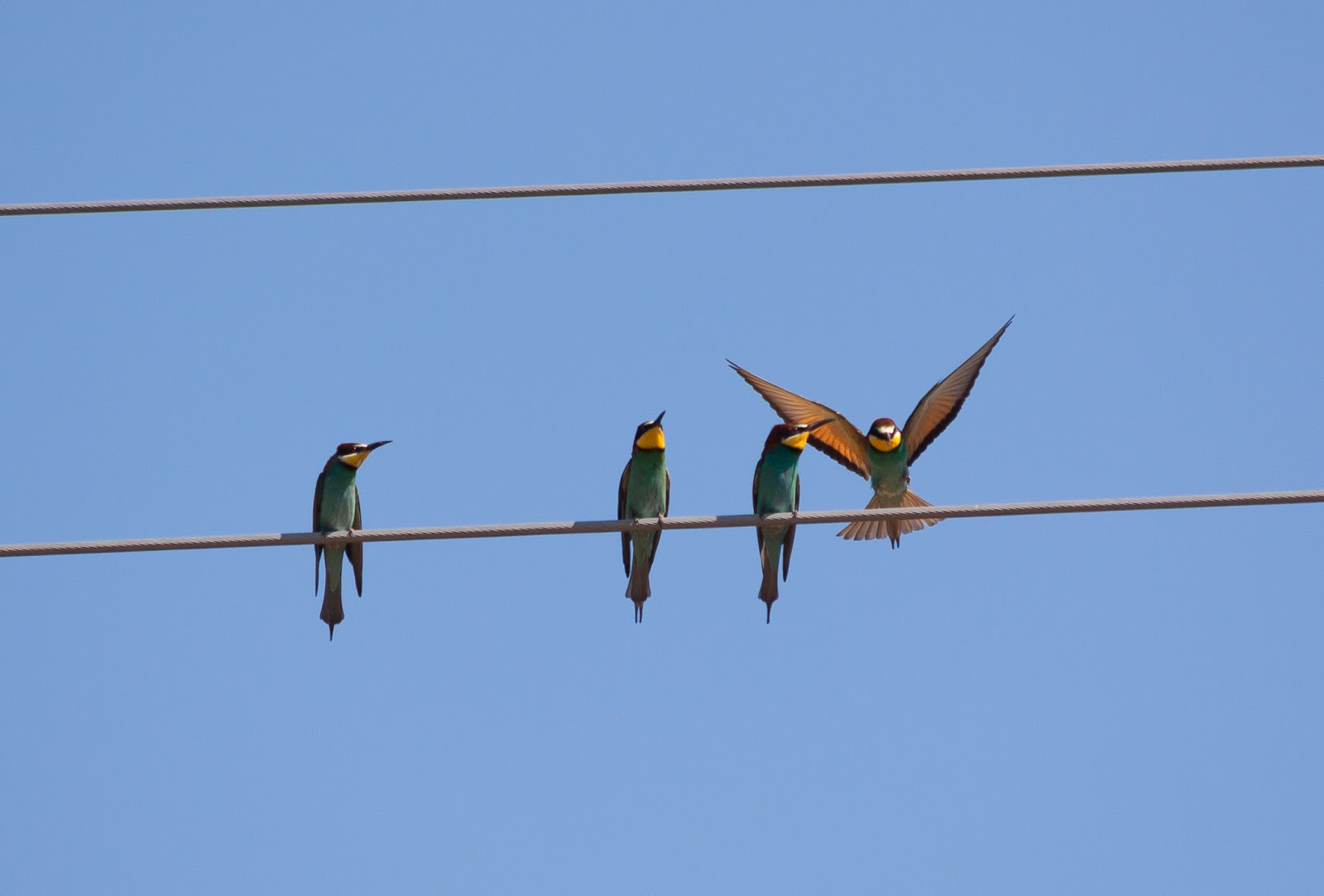 Bee-eaters, Northern Spain