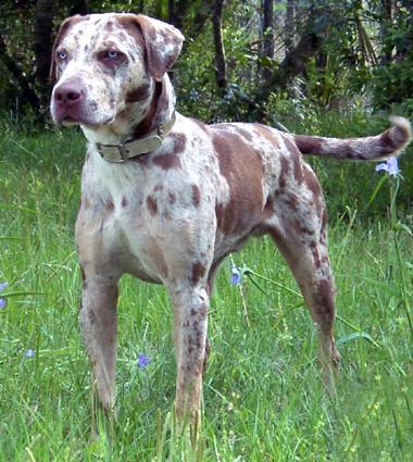 highly variable appearance working dog selected ability stock dog hunter
