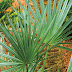 Saw Palmetto Reviews, Good for BPH Treatment