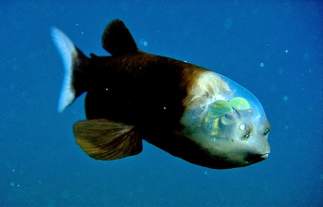 Pacific barreleye fish the weird fish with the transparent head