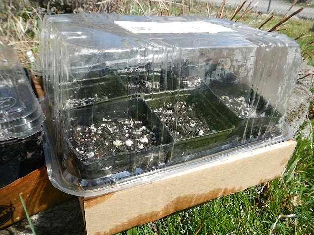 repurpusing plastic produce containers to grow garden seeds indoors