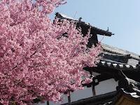 伽藍とオカメ桜