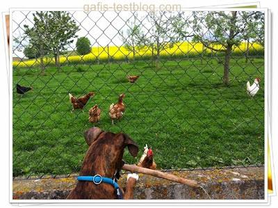 Boxer Amy bei den Hühnern