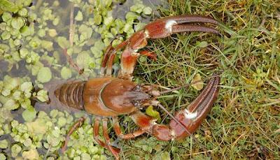 Caza del cangrejo de río