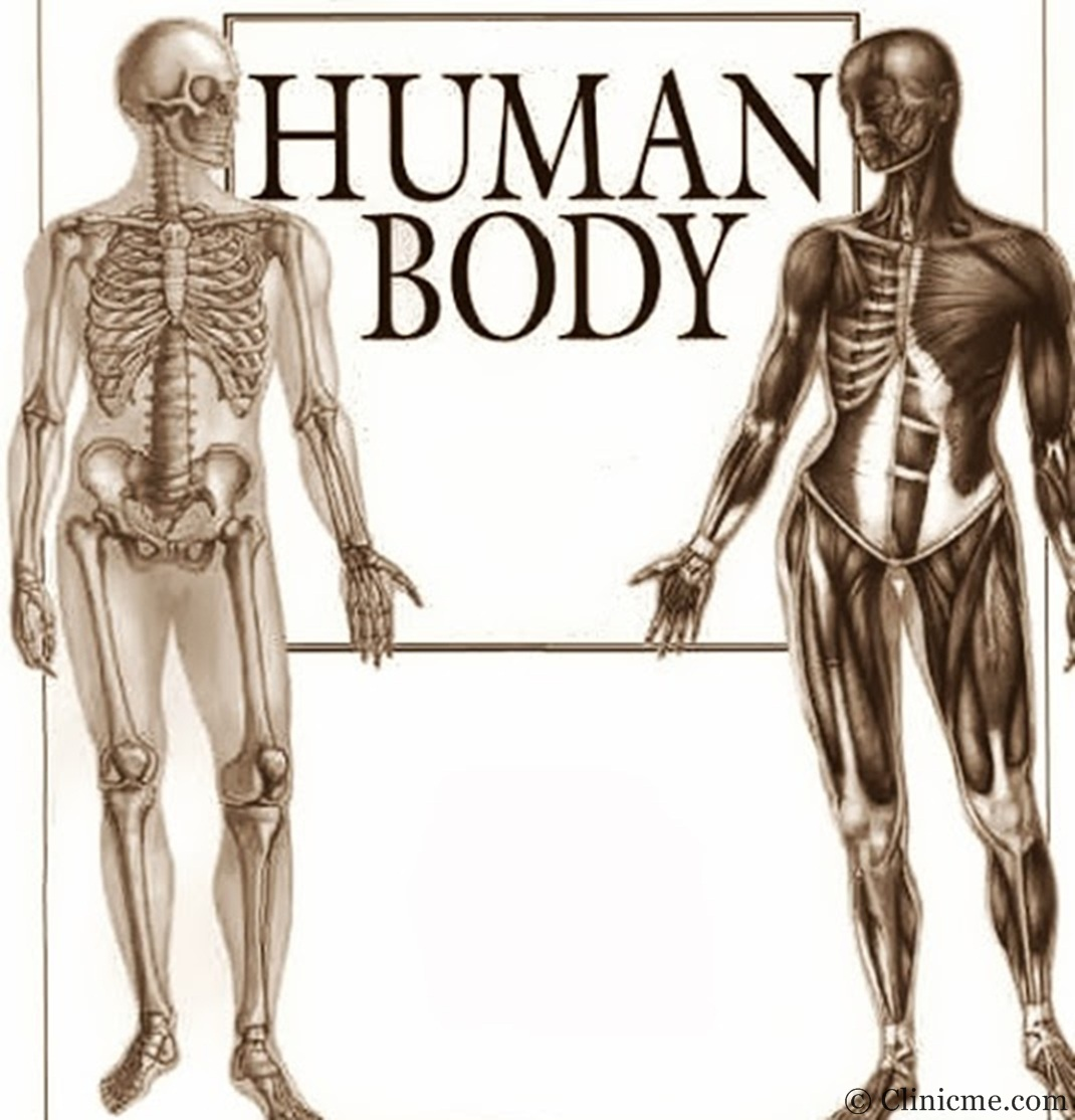 human body | clinicme, Muscles