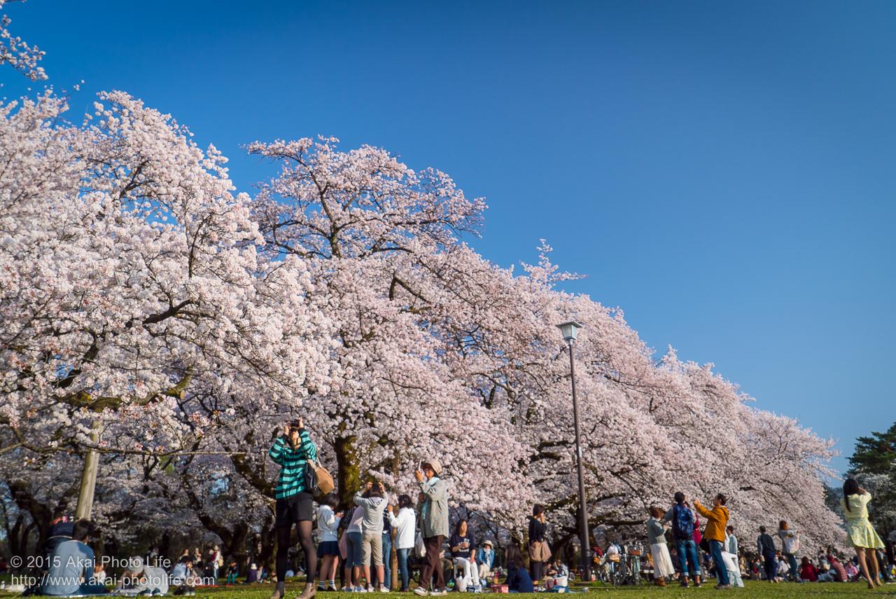 小金井公園の桜の写真 その1