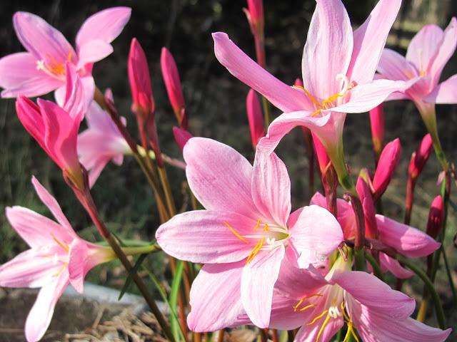 Rain lilies (Zephyranthes)
