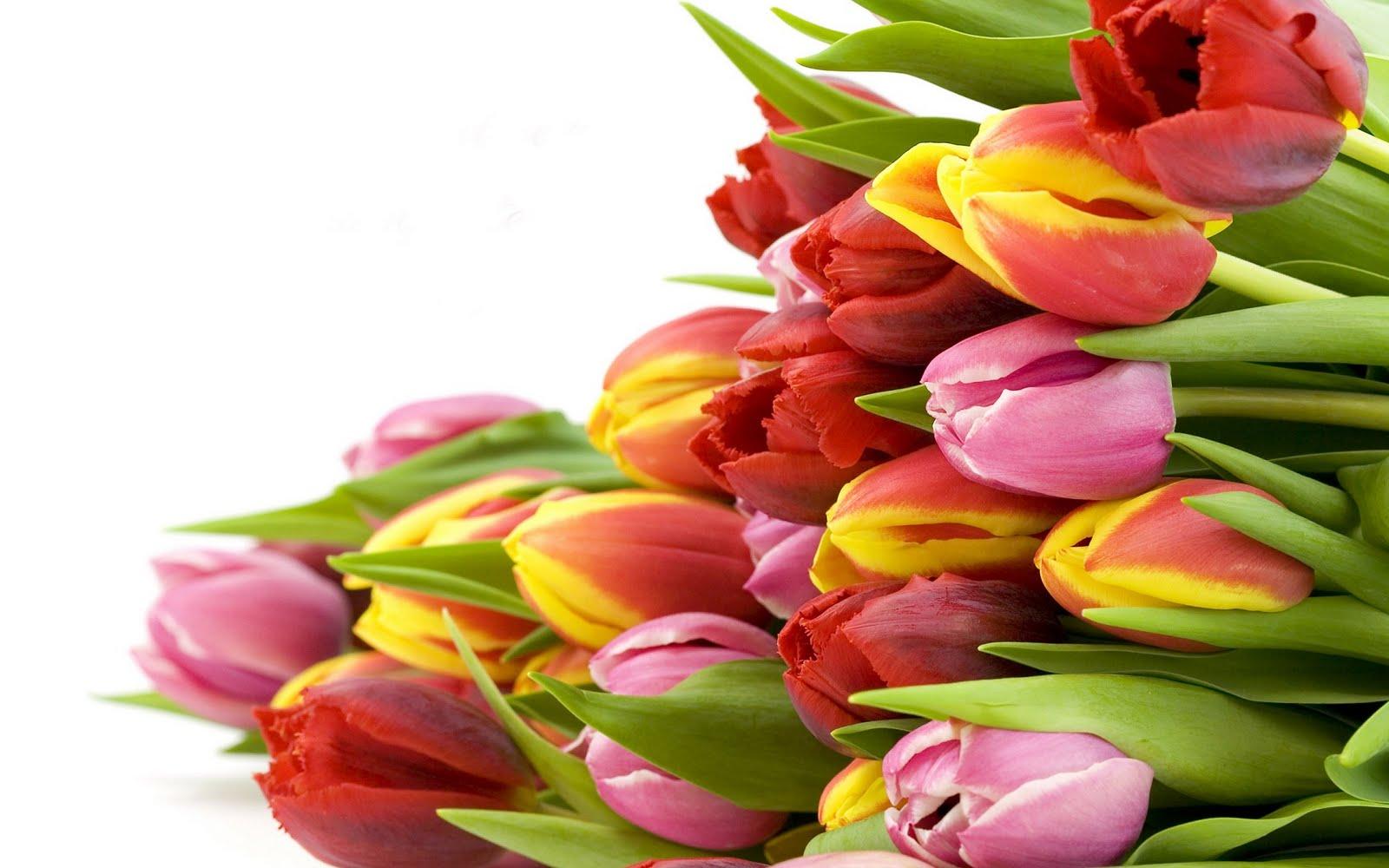 http://4.bp.blogspot.com/-AjY5RjjQVO8/TcrJ2EaTLVI/AAAAAAAAMgA/qfAebFeHyFo/s1600/tulip-flowers_2560x1600_79993.jpg