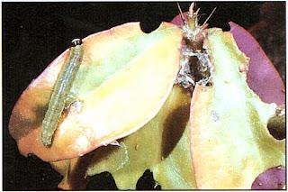 Повреждение гусеницами