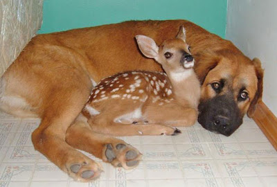 Funny+Baby+Deer+Wih+Dog