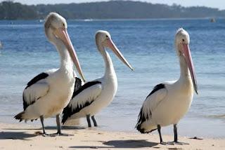 Pelícanos en la playa