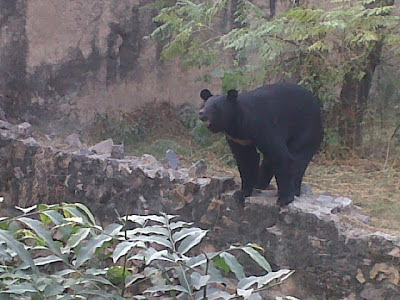 Bear in Delhi Zoo
