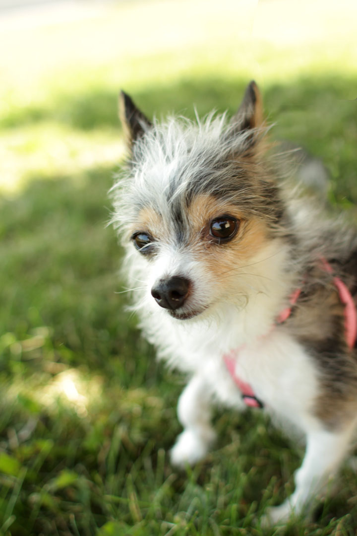 Long Haired Chihuahua Jack Russell Mixed Images & Pictures - Becuo