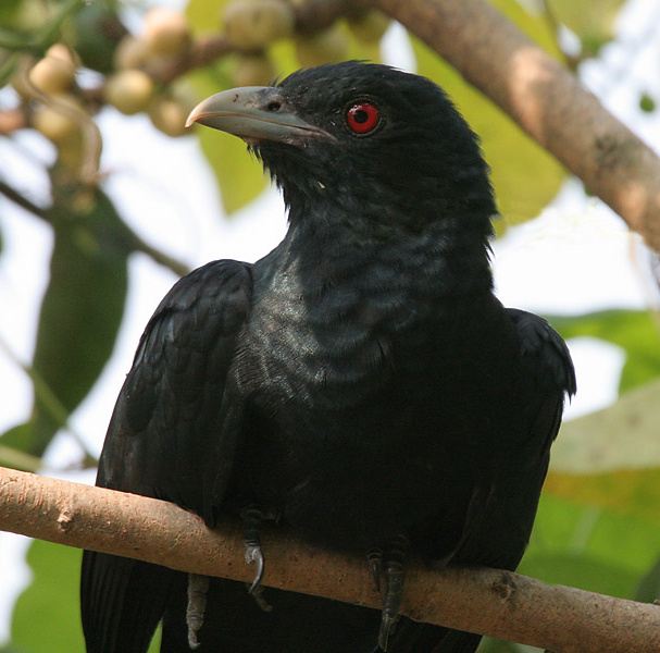 Close Up Of Male Koel