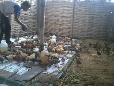 foto Budidaya dan Pembesaran Bebek Petelur
