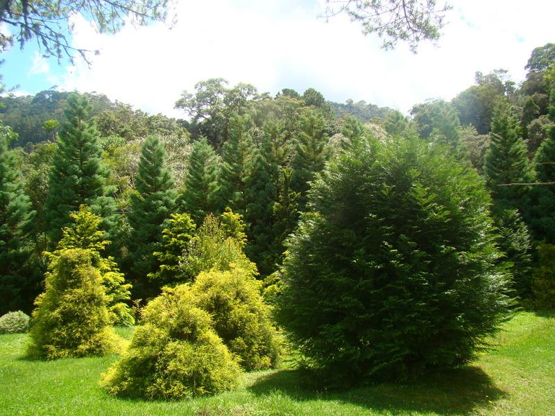 Decora interi rvores de grande porte for Coniferas de jardin