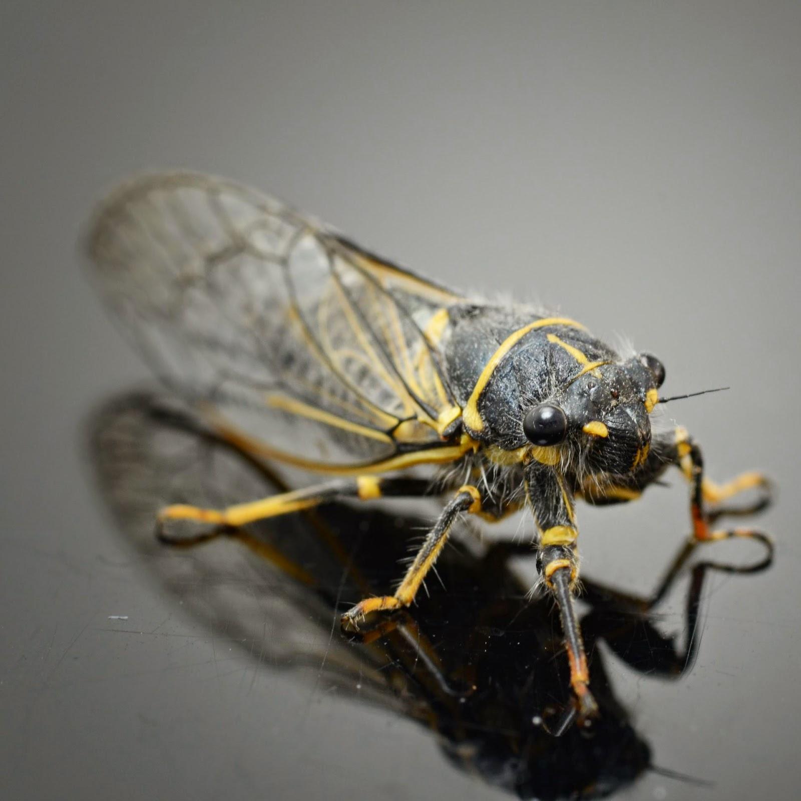 cicada fly