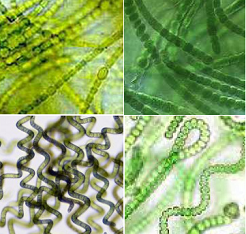 microalgae cells