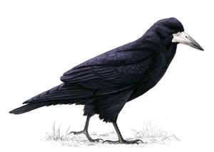 British birds - Rook