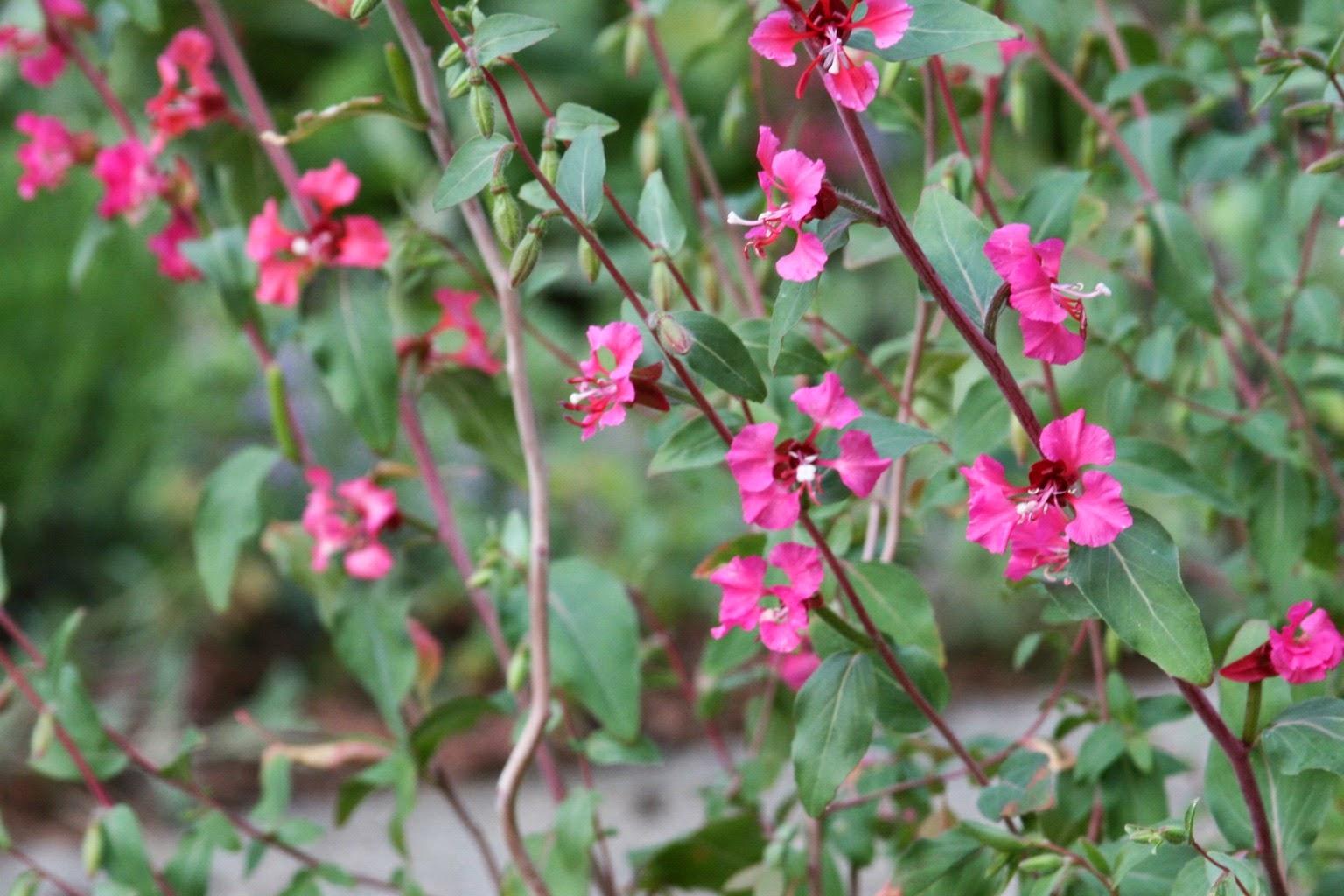 Цветы кларкия фото и уход
