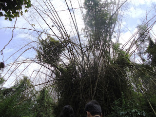 Bamboos in Dubare forest