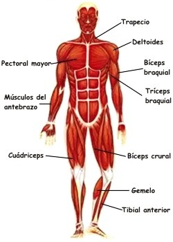 Dibujo del Sistema muscular del hombre