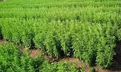 Stevia In Assam