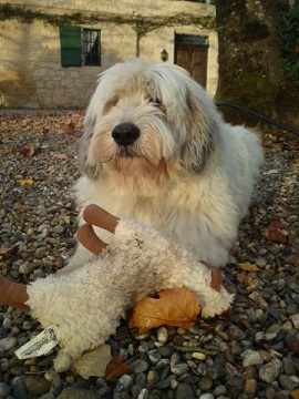 Medium Sized Dog Breeds Polish Lowland Sheepdog Shaggy