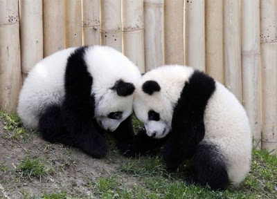 Cute Couple Panda
