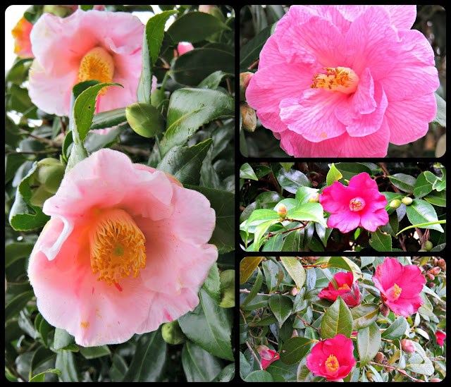 Camellias @ Jocees Farm
