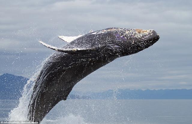 صـــــور مذهـلة للحيتان الحدباء وهي ترقص في مياة المحيط الهادئ في ألاسكا  Humpback%20whales07