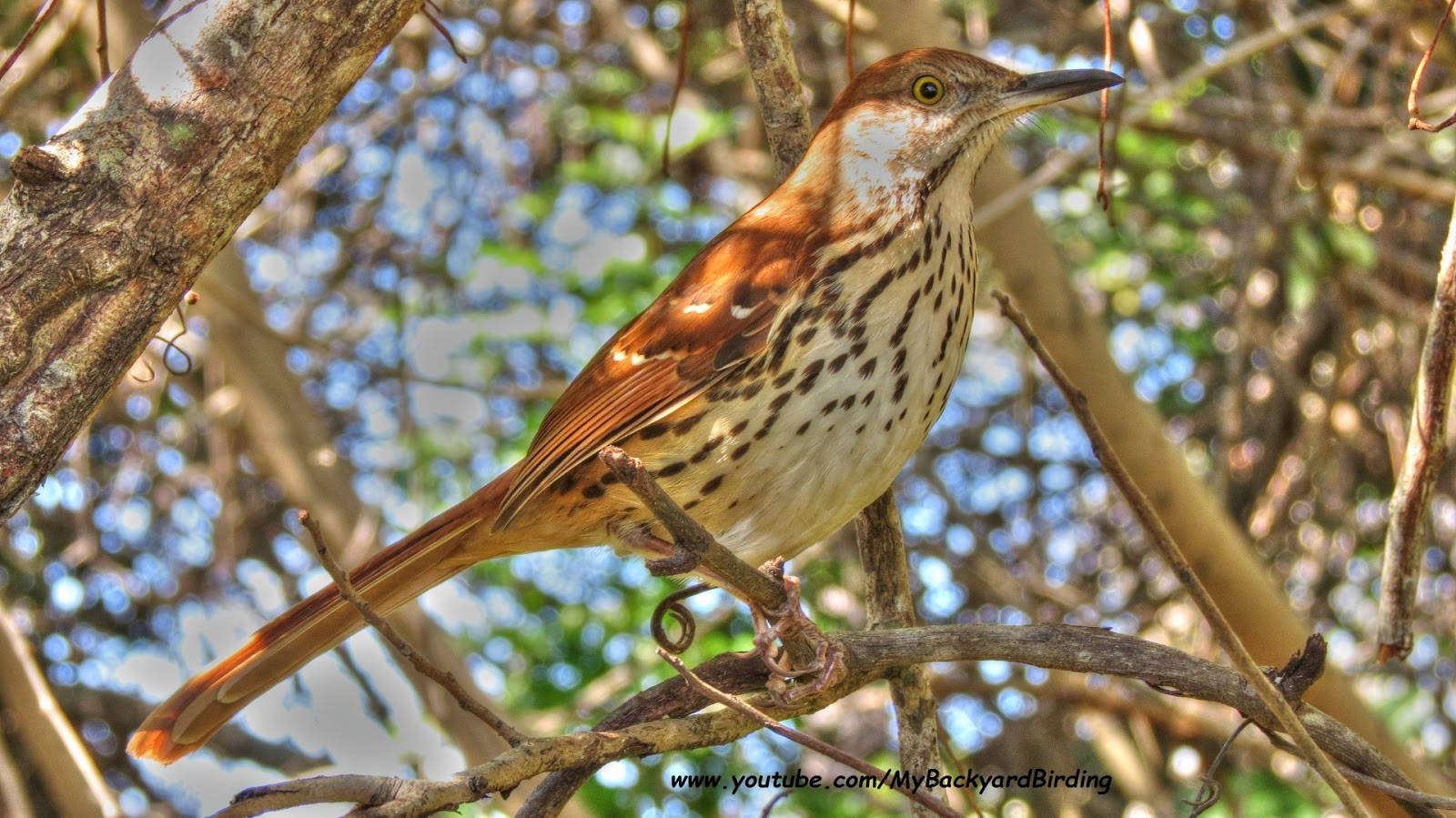 Brown Thrasher Florida