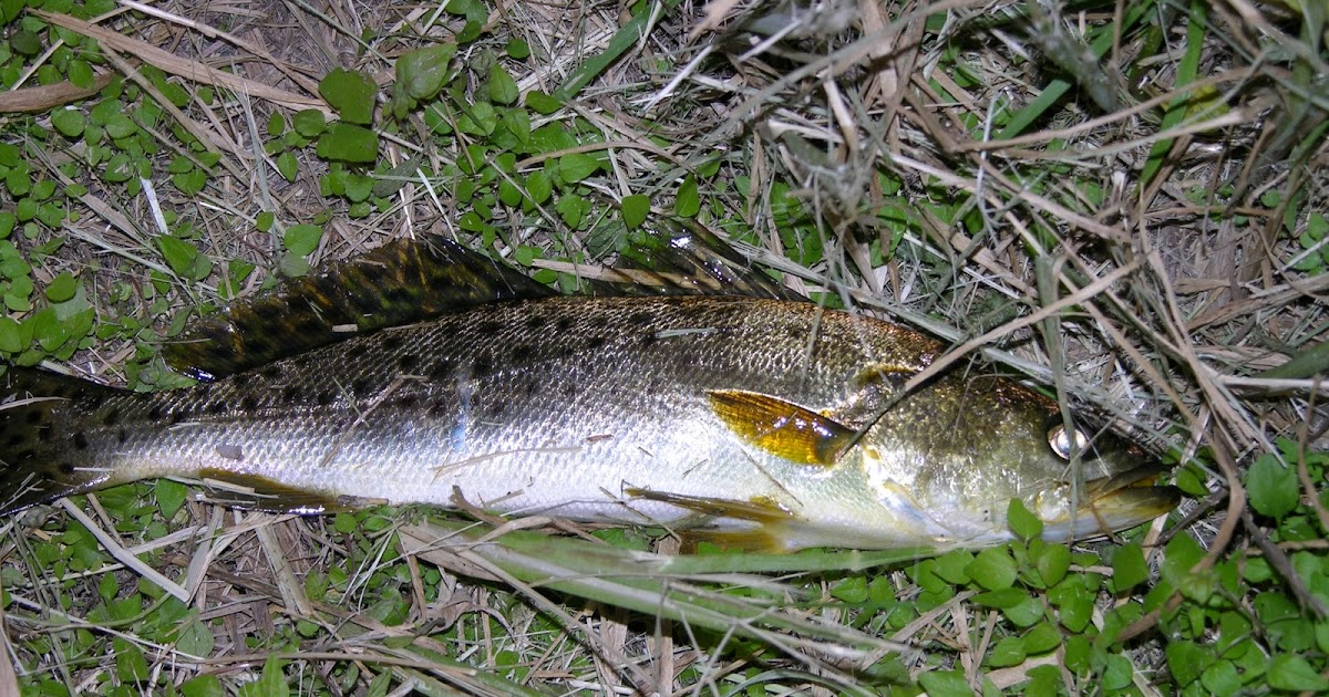 Mosquito lagoon indian river fishing mosquito lagoon for How much is a saltwater fishing license in florida