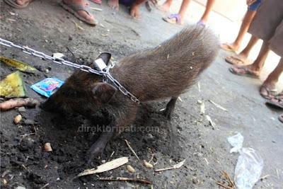 Babi Ngepet Tertangkap Warga Pati, Ada Soal Pesugihan