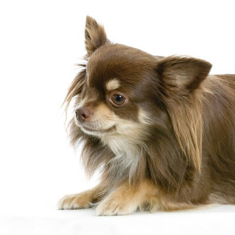 Long Haired Chihuahua Puppy Brown Cocoa or brown long-haired