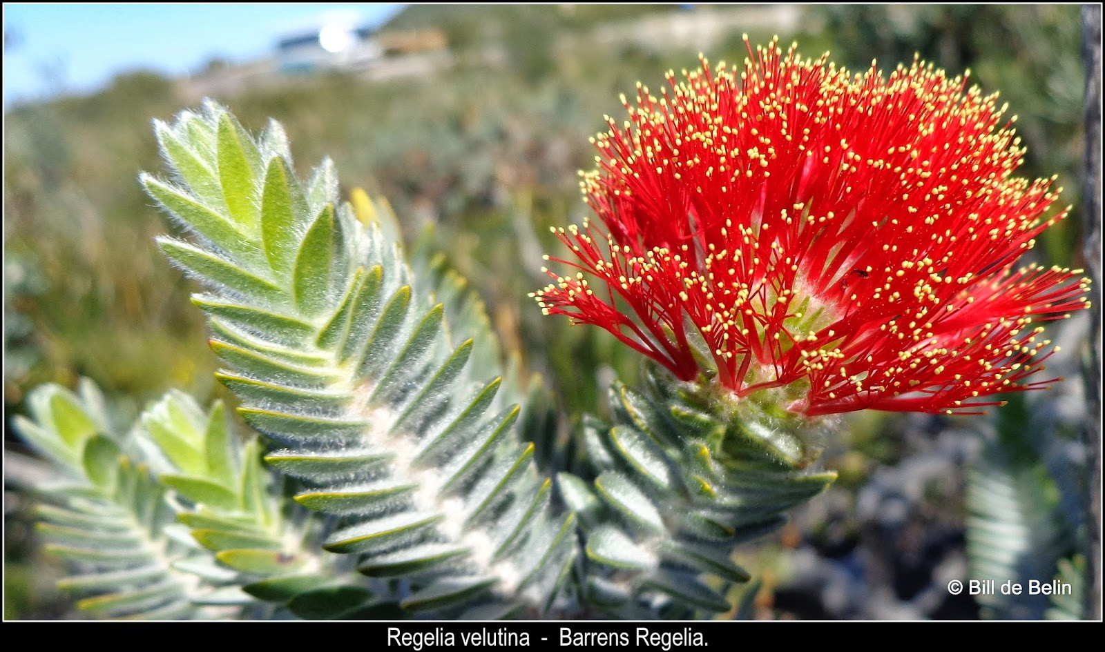 flora friday in oz  wildflowers from the south of western australia  12th september 2014
