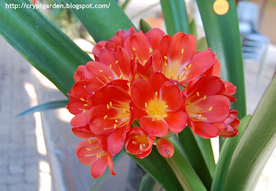 Clivia Interspecific