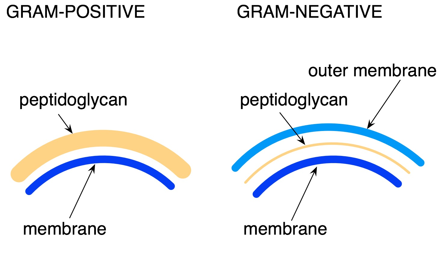 gram negative Gram staining is a type of differential staining used to distinguish between gram positive and gram negative bacterial groups, based on inherent differences in their cell wall constituents stains .