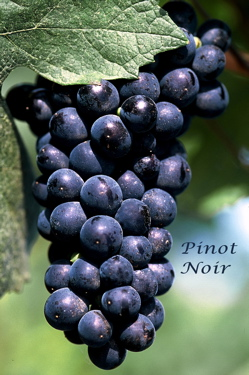 Pinot noir caracteristicas