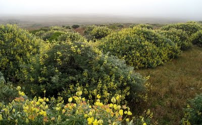 Photo of lupine bushes at Point Reyes National Seashore